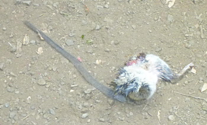 A rat's patootie, donated by some earlier trail user.
