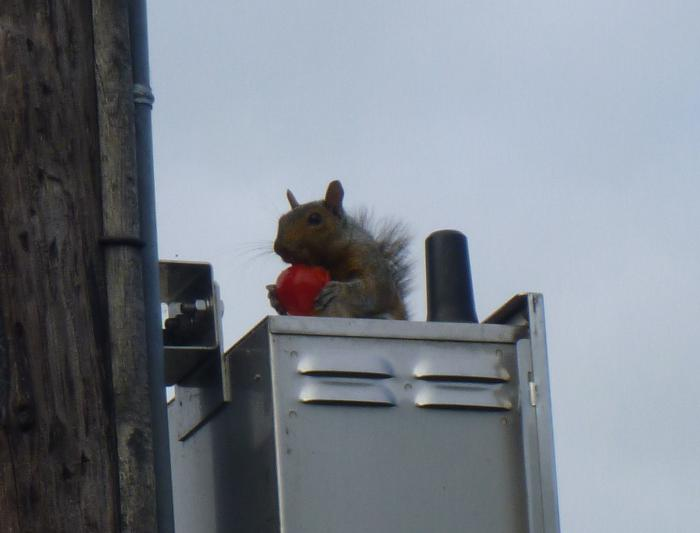Squirrel-with-tomato