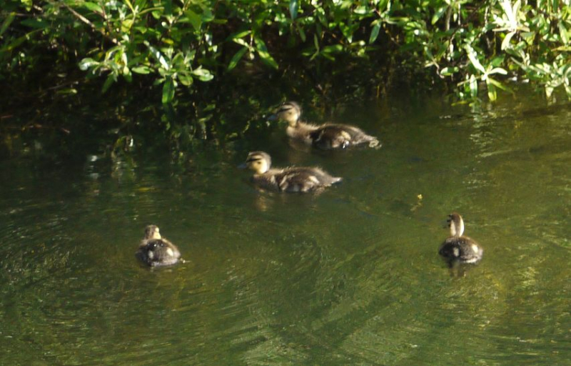 Ducklings-2017may03