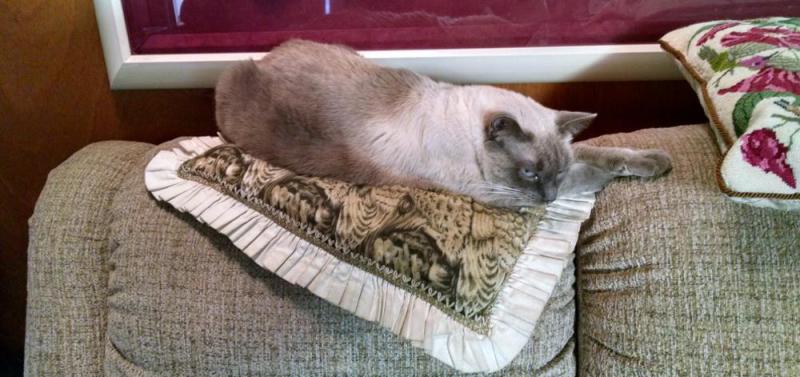 Pygmy-mountain-lion-sofa-pillow