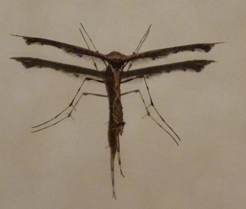 Gothic-mosquito-1