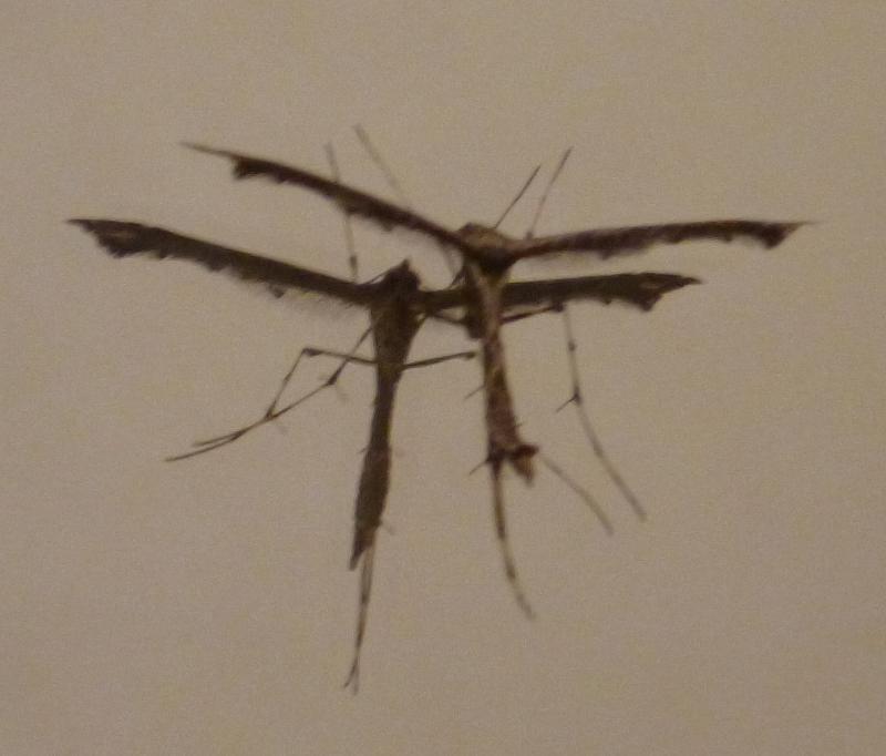 Gothic-mosquito-3