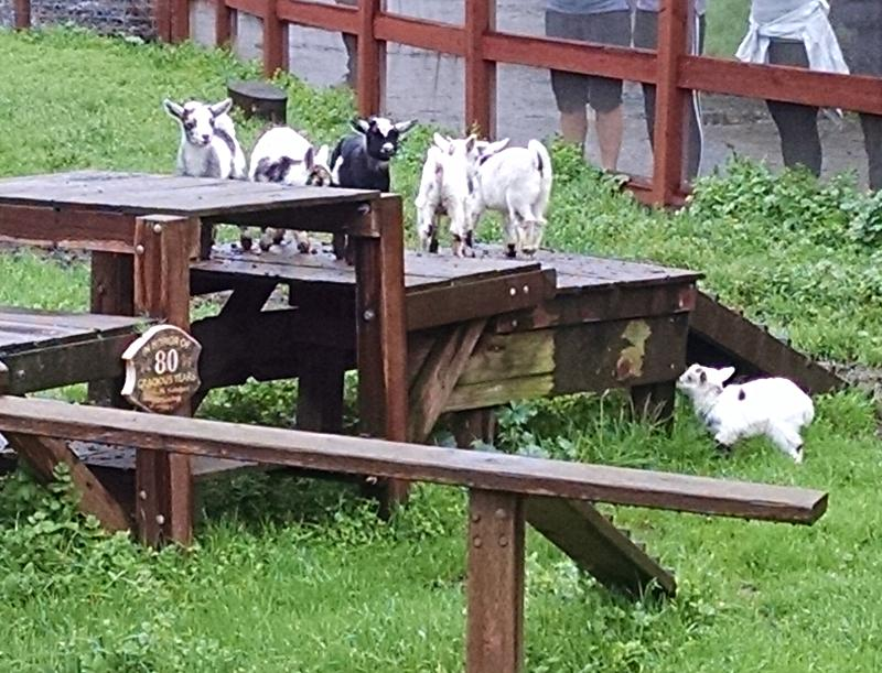 Goatlets-at-play
