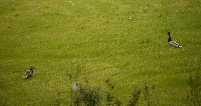 Back lawn pair-o-ducks 2020apr25