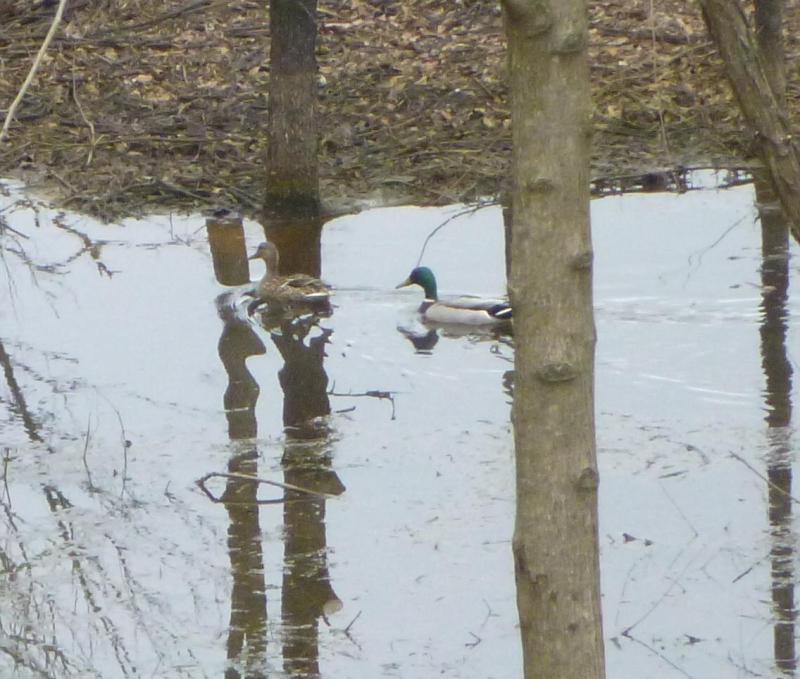 Pair-o-ducks1