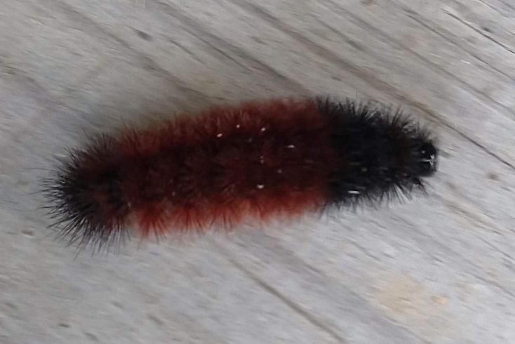 Woolly bear on deck