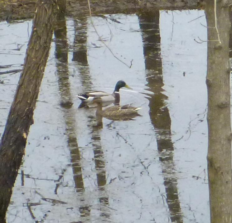 Pair-o-ducks0
