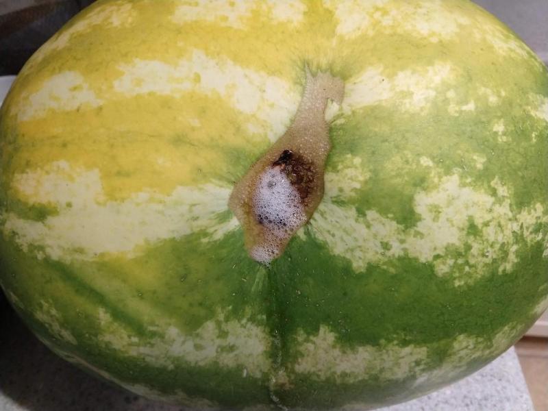 Rabid watermelon