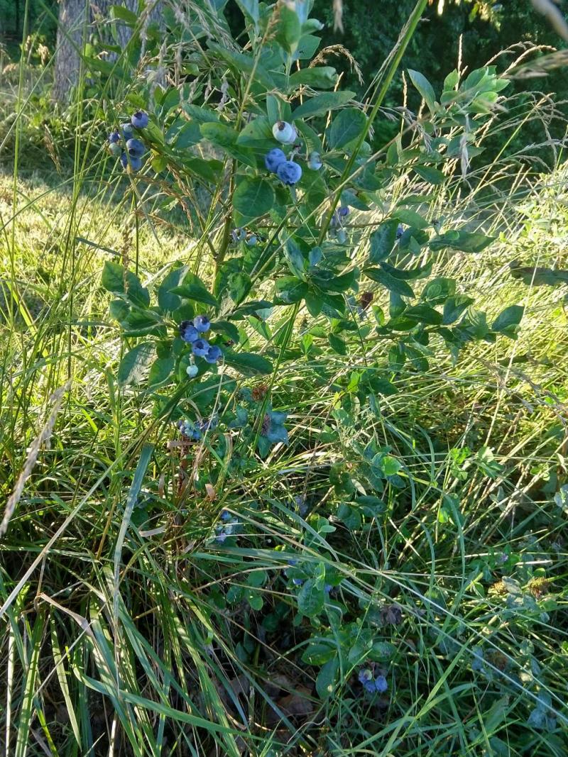 Blueberries 2021jun15