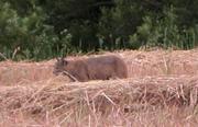 Bobcat again